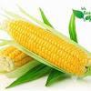 jagung-komoditi