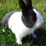 kelinci dutch