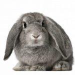 kelinci-lop