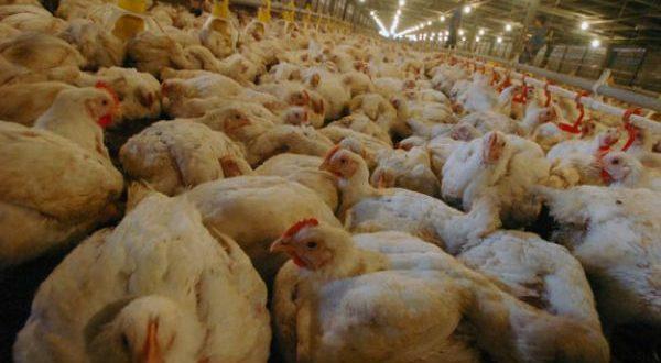 Melihat Prospek Peternakan Ayam Di Tahun 2017